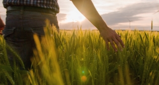 Midsection Farmer Walking Wheat Field Sunlight Landscape Nature Agriculture Growth Touching Green Footage Man Sky Cropland