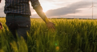 Farmer Midsection Walking Wheat Field Sunlight Landscape Nature Agriculture Growth Touching Green Windmill Footage Man Sky