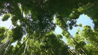 Low Angle Footage Tall Tree Canopy Green Nature Tranquil Forest Growth Lush Foliage Travel  Sky Branch Environment Woodland