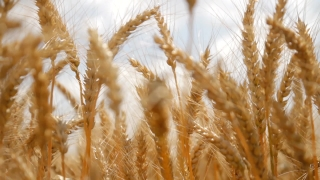 Organic Food Farm Wheat Rye Ripe Field Crop Summer Background HD