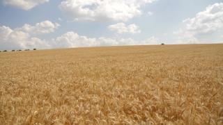 Wheat Field Blue Sky Background HD