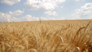 Ripe Wheat Harvest Background HD