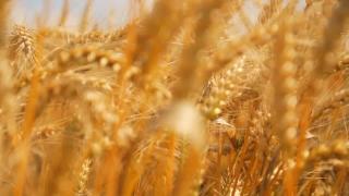 Summer Nature Wheat Field Golden Grain Organic Food Concept