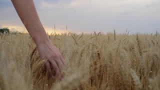 Young Woman Hand Caressing Field Summer Sunset Happiness Concept