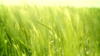 Ripe Grass Field Waved by Autumn Wind Nature Background HD