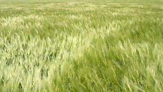 Green Wheat Field Waves Moved by Summer Wind Nature Pan Shot