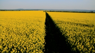 Yellow Oilseed Field Path Crane Shot Spring Agriculture