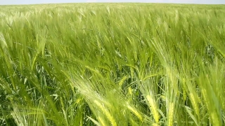 Ripe Wheat Field Waved by Autumn Wind Summer Nature