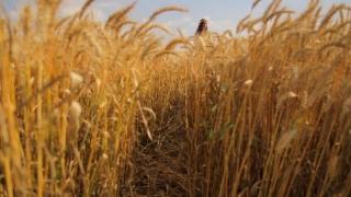 Beautiful Happy Woman Dress Passing Through Wheat Field Healthy