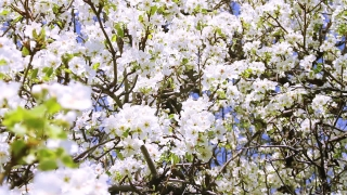 Spring Garden Tree Blooming Branches Waved by Wind Pan HD
