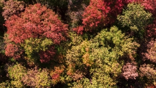 Panoramic Shot Of Colorful Forest During Autumn Season Nature Tree Mountain Aerial 4K Foliage Beautiful Sunny Travel Heavenward Red