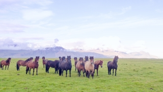 Aerial Flyover Over Icelandic Wild Horses Standing on Meadow Golden Hour Horse Breeding Freedom Concept