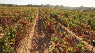 Vineyard Agriculture Farm Drone Footage Landscape Nature Green Summer Viticulture Autumn Season Rural Field Aerial Europe Travel 4K Row Beautiful