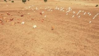 Aerial Footage Sandhill Cranes Flock Drone Cows Herd Landscape Nature Idyllic Tourism Aerial Birds Migrating Transition Livestock Travel 1080p
