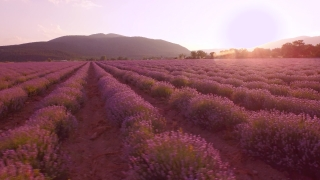 Aerial View Lavender Field Purple Flowers Beautiful Agriculture Nature Violet Summer Nature Blooming Beauty Concept UHD 4K