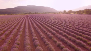 Lavender Field Aerial Fly Over Close Up Violet Flowers Countryside Agriculture Beauty Aroma Therapy Spa UHD 4K