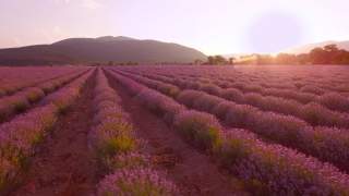 Beautiful Lavender Field Violet Flowers Blossom Blooming Aerial View Close Up Pan Purple Scent Rural French Fragrance Aromatherapy Concept UHD 4K