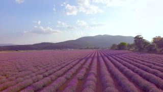 Beautiful Purple Lavender Filed Aerial View Close Up Aromatherapy Spa Treatment Concept UHD 4K