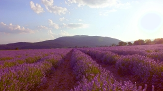 Lavender Filed At Dusk Sunset Sunrise Vivid Colorful Purple Beauty Nature Agriculture Aromatherapy UHD 4K