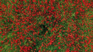 Flower Background Floral Summer Nature Spring Field Red Poppy Sky Green Outdoor Beauty Sunlight Bloom Blue Landscape Grass Blossom Beautiful Agriculture Countryside Plant Rural  Aerial UHD 4K