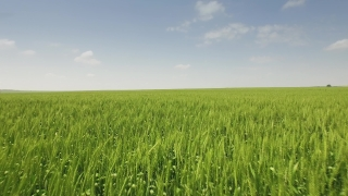 Field Wheat Man Farmer Agriculture Nature Person Crop Summer Food Outdoor Rural Sky Male Countryside Blue Grain Agricultural Country  Aerial UHD 4K