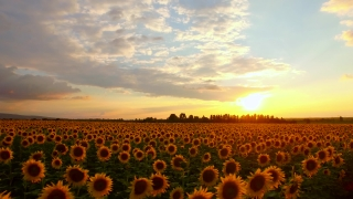 Sunset Agriculture Sunflower Field Sunset Panning Nature Outdoors Beauty Food Production Ecology Concept
