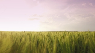 Food Summer Nature Sun Leaf Spring Wheat Field Green Agriculture Plant Landscape Grass Blue Sky Season Farm Rural Meadow Growth Crop Cereal  Aerial UHD 4K