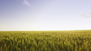 Field Green View Aerial Rural Wheat Countryside Crop Landscape Nature Above Country Farm Sunny Beautiful Grass Scene Scenic Summer High Meadow Aerial UHD 4K