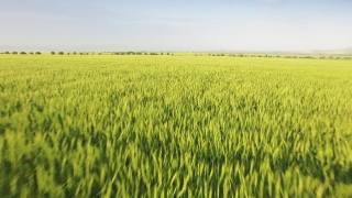 Nature Sun Spring Landscape Field Wheat Plant Sunset Agriculture Green Grass Sky Meadow Yellow Farm Sunlight Rural Cereal Season Crop Growth Scene Land Cloud  Aerial UHD 4K