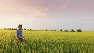 Field Wheat Golden Agriculture Farmer Man Nature Farm Harvest Rural Crop Plant Outdoor Summer Countryside Person Food People Proud Mature Work Agricultural  Aerial UHD 4K