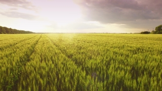 Wheat Green Landscape Sunset New Field Agriculture Spring Summer Nature Rural Plant Farm Cereal Season Meadow Growth Grass Crop Sky Environment Blue Countryside Scene Aerial UHD 4K