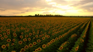 Aerial Close Up Fly Over Sun Flower Field Agriculture Beauty Golden Sunset Colors Sunflower Plantation Farm Land Concept