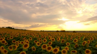 Passing Fly Over Sunflower Field Close Up Aerial Agriculture Sunset Beauty Nature Piece Beauty Farming Landscape Background
