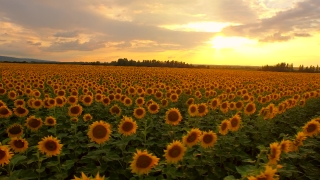 Beautiful Sunset Over Sunflower Field Aerial Panning Close Up Pan Beauty Sunlight Orange Colors Growth Concept