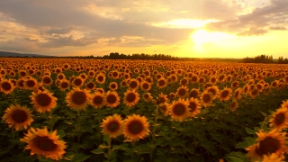 Sun Flower Field At Sunset Beauty Nature Heaven Concept Rustic Farm Calm Landscape Aerial Spin Tracking Shot