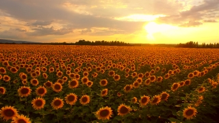 Beautiful Field Sun Flowers Sunset Heaven Afterlife Concept Fly Over Pan Shot