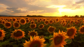 Beautiful Sun Flower Field Sunset Vibrant Beauty Nature Outdoors Summer Agriculture Farming Landscape Aerial Fly Over Close Up