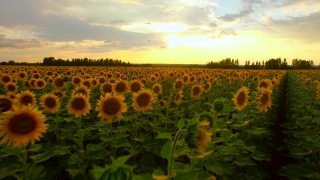 Agriculture Summer Harvest Food Concept Sun Flower Field Sunset Orange Colors Beauty Aerial Dawn Dusk Farming Sky Clouds