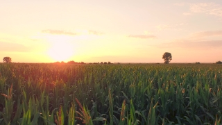 Summer Sunset Over Corn Field Aerial Close Fly By Shot Agriculture Healthy Living Gmo Foods Hope Future Concept