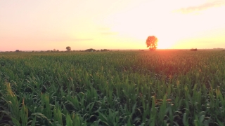 Corn Field Summer Growing Crops Agriculture Crops Sunset Rays Beauty Food Production Gmo Modification Concept