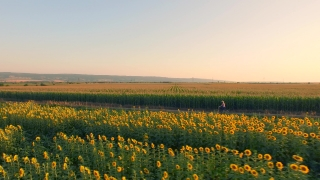 Aerial Shot Of Farm Girl Riding A Bicycle Through Rural Land Sunflower Field Nature Life Ecology Beauty Of Nature Sunset Colors Dusk Ecology Healthy Living Exercise Sun Spring Summer Relaxation Spirit