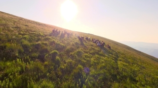 Wild Horses Herd Running On Meadow Aerial Fly Over Spring Mountains Nature Wild Life Beauty Animals Stallions Galopping Sunset Shining Adventure Freedom Ecology Concept