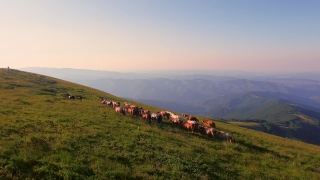 Aerial Shot Fly Over Animals Horses Running On Green Meadow Summer Field Hill Mountain  Wildlife Nature Beauty Landscape