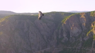 Wild Vulture Griffon Scavenger Drifting Through Air Aerial Follow Tracking Shot Natural Habitat Wildlife Animal Endangered Specie Environmental Preservation Concept