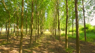 Nature Trees Corridor Tracking Shot Beauty Nature Young Forest Pass Through Aerial Close Up